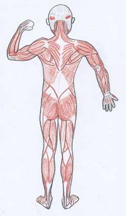 筋肉絵背中1.0.jpg