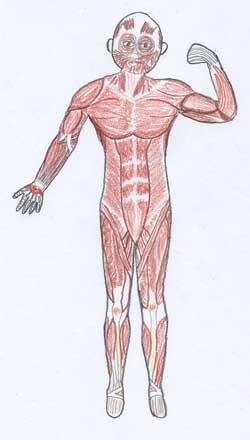 筋肉絵表1.0.jpg